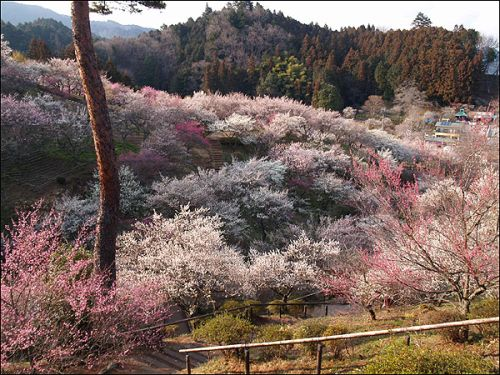 Japan Plum Blossoms