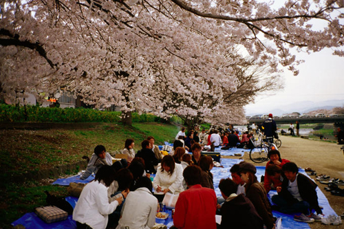 People having 'Hanami' cherry blossom party near Kamogawa River.