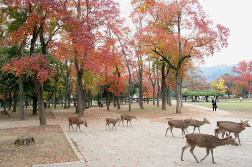 Deer roaming in central Nara among Sapium sebiferum trees