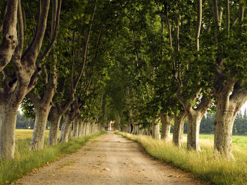 plane trees in provence Travel To France   Top 10 Best Places