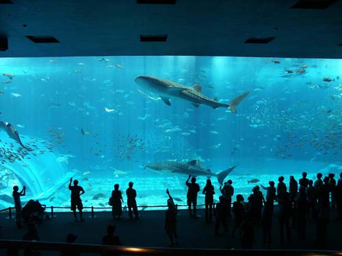 the breathtaking scene in Okinawa Churaumi Aquarium in Ocean Expo Park