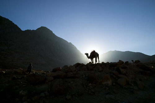 Camel in the early morning light as trekkers ascend Mt Sinai, Sinai Peninsula.